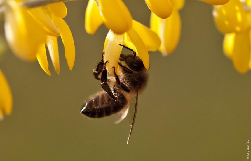 Пчелы, муравьи и осы принадлежат к группе жалящих перепончатокрылых