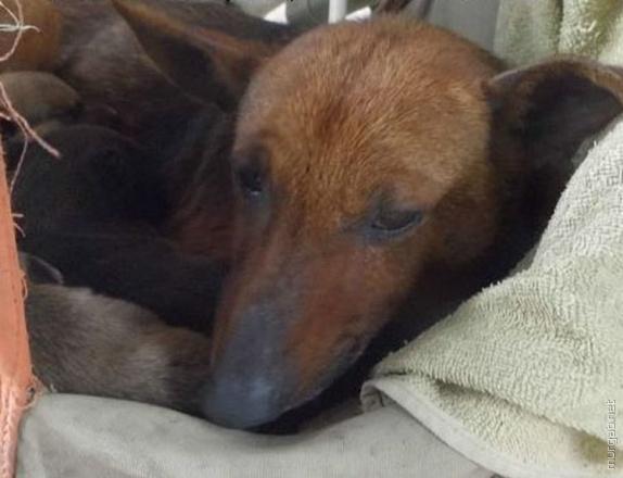 Собака-спасительница Пути