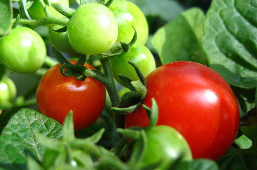 Марсианские помидоры