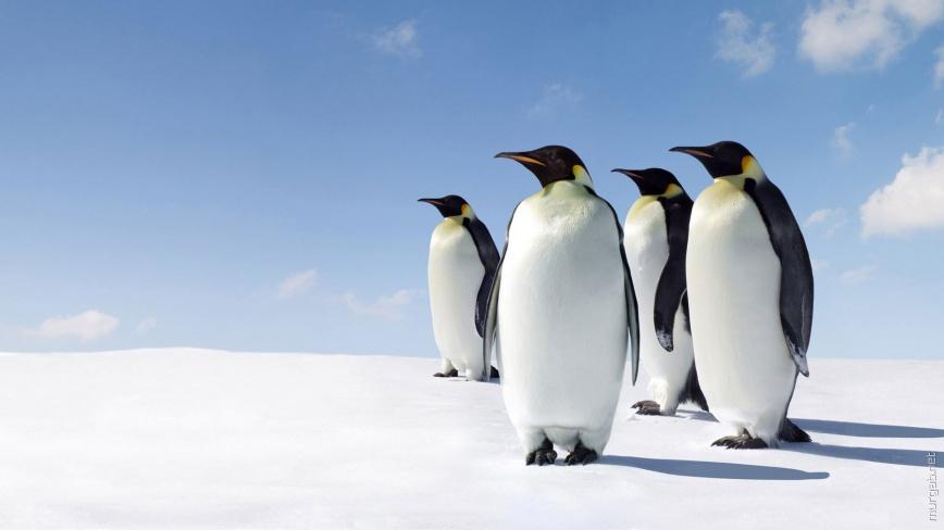 Пингвины смотрят на север